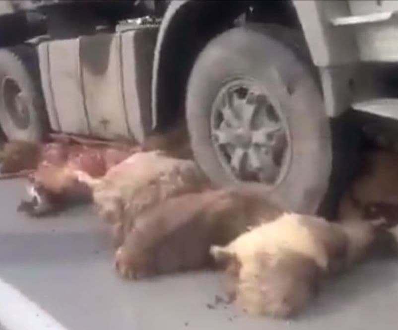 تصادف کامیون با گله گوسفندان