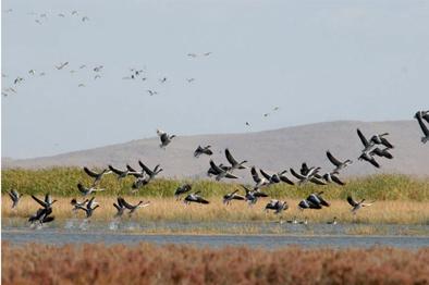 تالابهای مهاباد میزبان ۳۰ هزار پرنده مهاجر