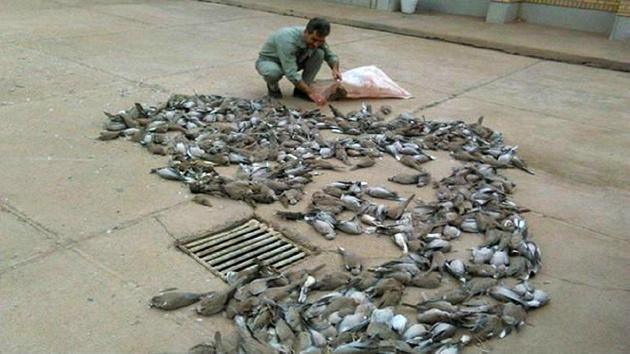 تلف شدن 300کبوتر وحشی در شهرستان دیر بوشهر