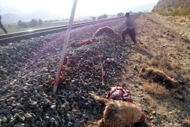 قطار 62 راس گوسفند را در جغتای تلف کرد