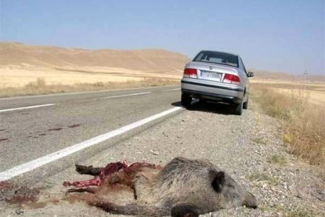 جاده از مهمترین عوامل تلفات حیات وحش