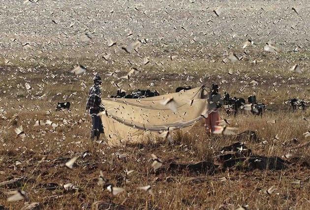 مبارزه با ملخ صحرایی  15 میلیارد تومان اعتبار لازم دارد