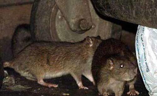 موشهای آدم خوار در انتظار زلزلهزدگان تهرانی