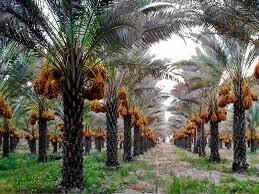 طرح نخیلات و چاه مزرعه ای برای مقابله با خشکسالی دراستان بوشهراجرا می شود